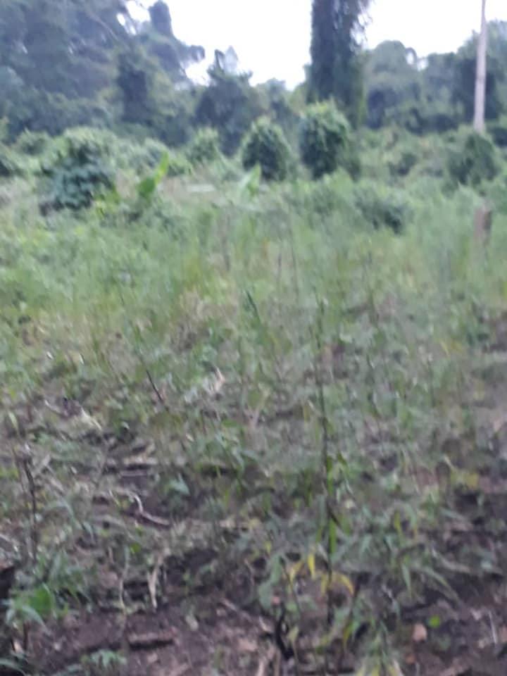 champ de cannabis akoupé détruit