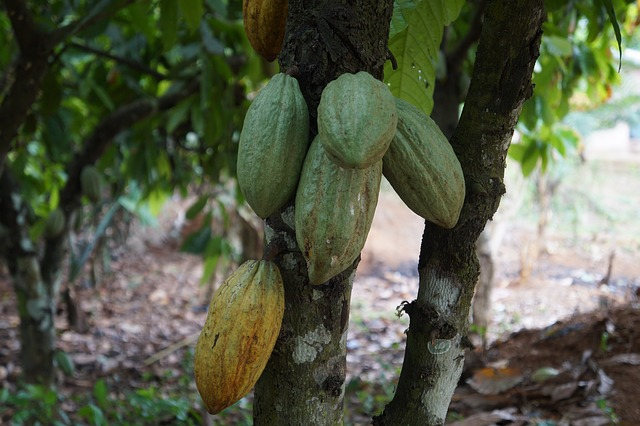 travail des enfants plantation cacao dominique ouattara